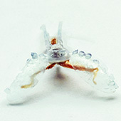 3D-printed biorobots powered by sea slug muscles